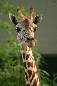 What are the things on the top of giraffes heads called?