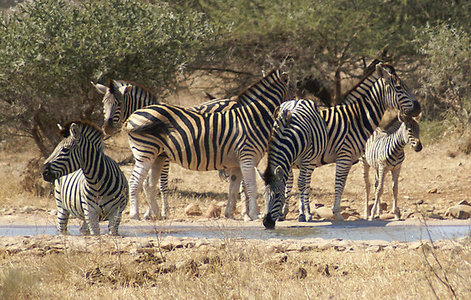 What are Zebra families called?