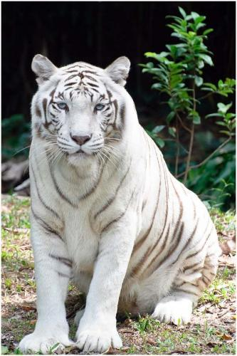 The ratio of the Bengal tigers born white is 1 in