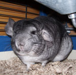 Can Chinchillas be trained to fetch?