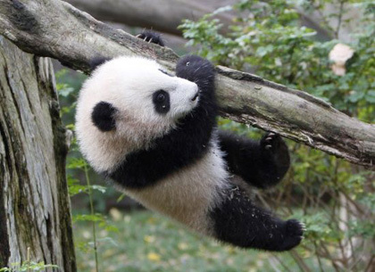 An adult male panda can reach the weight of