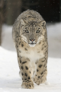 Where does the snow leopard live generally?
