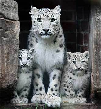 What's the average size snow leopard litter?