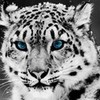 snow leopard booklover27 photo