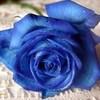 blue rose! plum-creek-girl photo