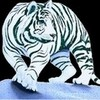 ...white tiger... -carmen- photo