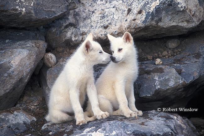 Fanpop - s-f-fan's Photo: cute baby wolves