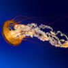 jellyfish! briarlight photo