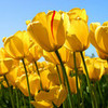 tulips also pretty briarlight photo
