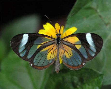 Glasswing 나비