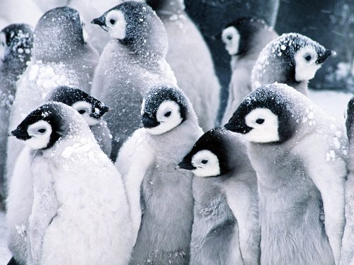 Penguins 壁纸