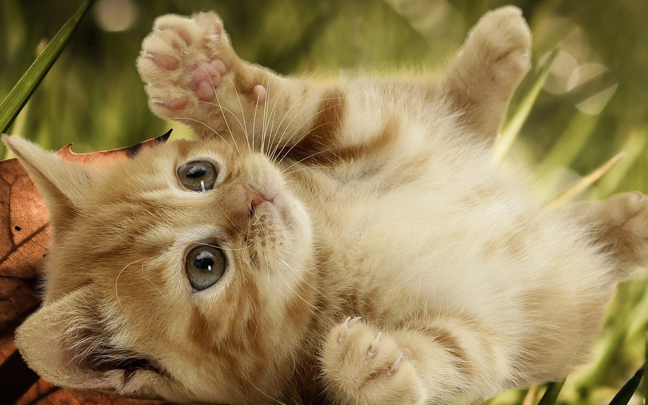 Playful Kitten Kittens Wallpaper 16155935 Fanpop