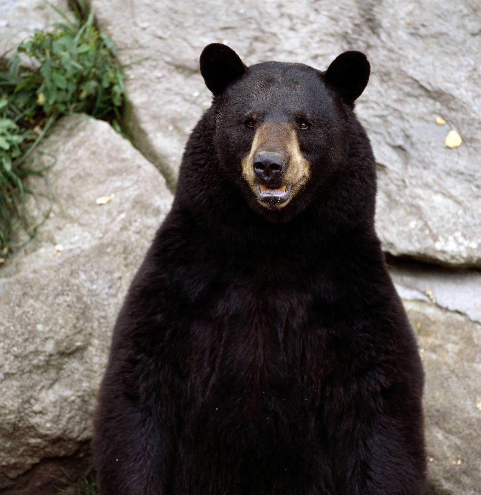 how tall is black bear