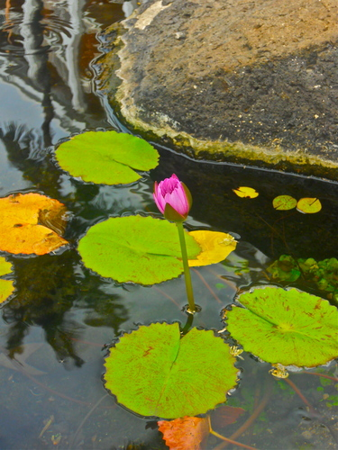 A Breathtakingly Beautiful fleur with Lily Pads