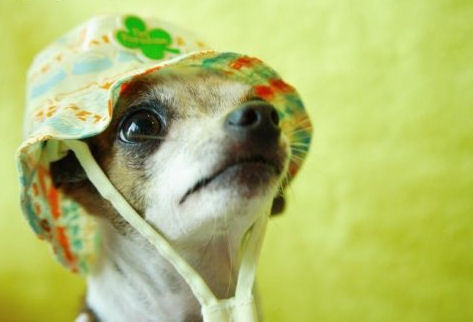The Charming chihuahua