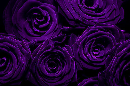 Purple Rosen for susan