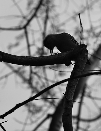 Red-Bellied Woodpecker in Black and White