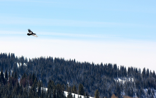 Raven flying over Vail, Colorado