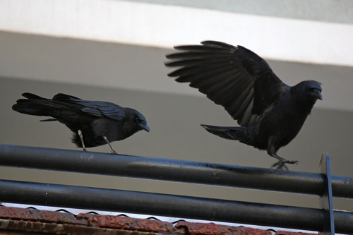 Two American Crows