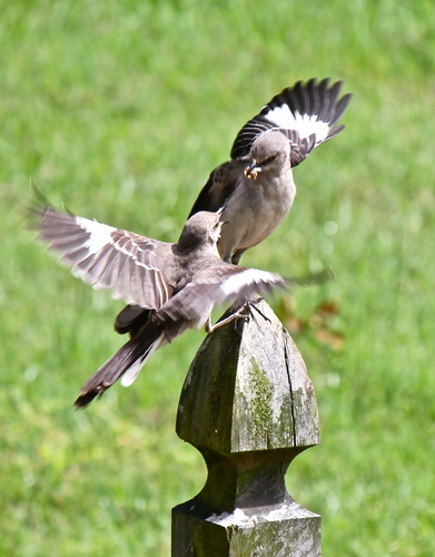 Mockingbirds Feeding Each Other