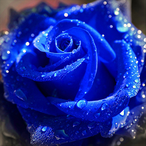 A Beautiful Rose For Susie ♥