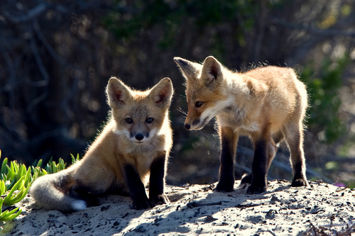 Red rubah, fox cubs