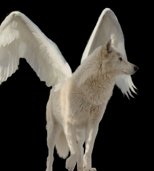 Fanpop - Temeraire200's Photo: The White winged wolf